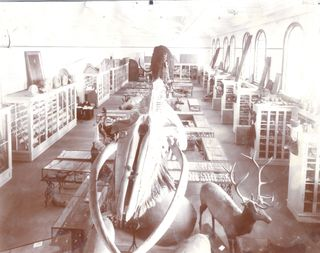 Palmer Museum whale before 1924